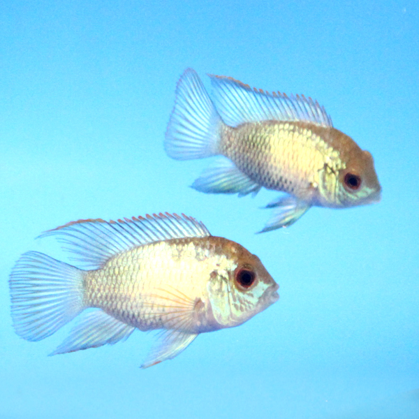 Blue Acara Size Related Keywords & Suggestions - Electric Blue Acara ...